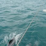 hector dolphins bow riding
