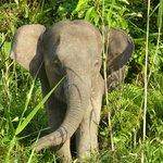 Seltene Pygme-Elefanten