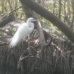 Egret in mangrove tunnel - up close and personal!