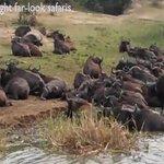 Buffaloes crossing the kazinga channel