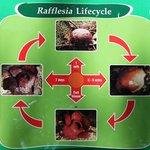cartello spiegazioni ciclo della rafflesia