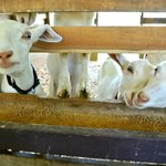 The cute goats at the barn, so friendly!