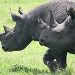 The Elusive Rhino