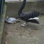 Mean black Swan!!