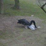 The mean black Swan!!