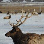 Elk on the National Elk Refuge