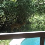 Nyala checking out our pool