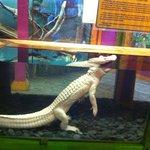 Albino gator at Fudpuckers