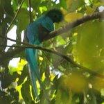 Quetzal, male