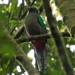 Quetzal, female