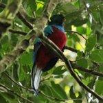 Quetzal, immature