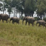 Elephants after crossing the river