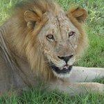 Simba le lion