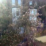The magnolia tree which was just coming into blossom, from the terrace.