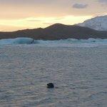 Seal swimming- Jokulsarlon