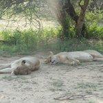 The lions sleep