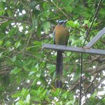 Blue-capped MotMot from courtyard.