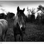 les chevaux du pré d'à coté
