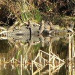 Baby alligators sunbathing on top of their mother.