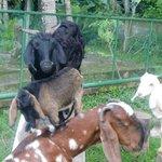 goats on property