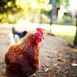 Over 100 chickens for breakfast eggs