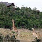 Addo Afrique Giraffe Lodge View