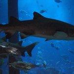 shark in Dubai Mall Aquarium