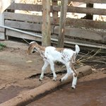 Its the goat in the farm