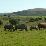 Famille de Rhinocéros blanc