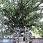 A holy tree