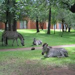 Zebras on the lawn