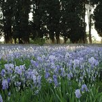 The Iris in bloom