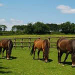 Exmoor ponies grazing at the Centre