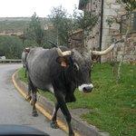 la autentica protagonista de Cantabria pasean a sus anchas por la subida de la crta. al soplao