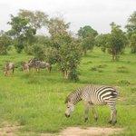 Zebras...