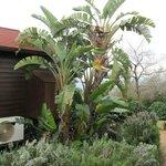 Banana tree next to the cabin