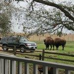 Buffalo saying good morning