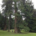 large North American tree