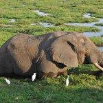 В Амбосели. Слон, спасающийся от жары в водоёме