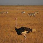 Зебры и страусы на территории Амбосели.