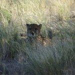 Cheetah tour