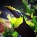 This Toucan visits the restaurant perch regularly.  It was amazing!