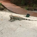 One of the harmless iguanas