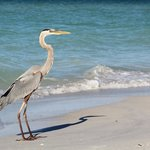 Great Blue Heron, Anna Maria Island