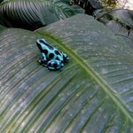 Another cool poison dart frog