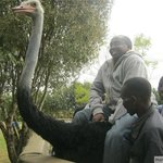 Thats me sitting on the ostrich just before it took off
