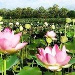 Blooming lotuses