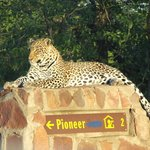 Leopard at Mopani