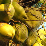 Coconuts in the garden