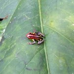 Poison dart frog found on a hike!